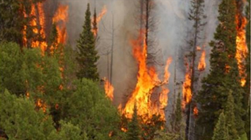 Wildfire in a conifer forest.